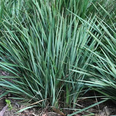 Grass Strap Leaf