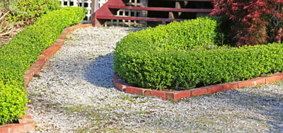 about_Buxus-Faulkner2